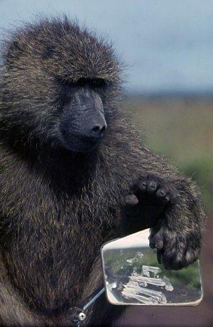 Black baboon ?